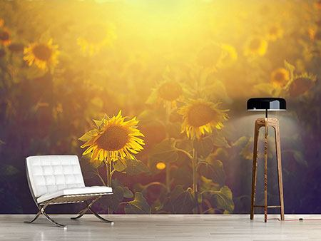 Photo Wallpaper Sunflower In Golden Light