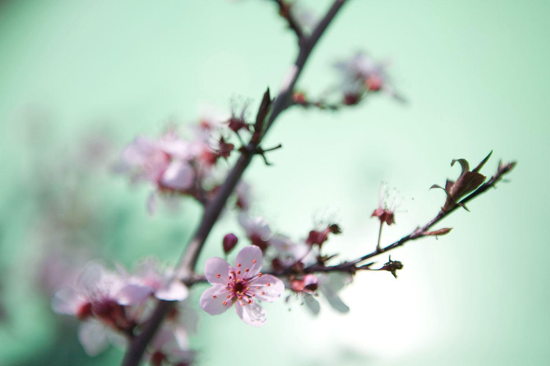 fototapete die japanische kirschbl te jetzt bestellen. Black Bedroom Furniture Sets. Home Design Ideas