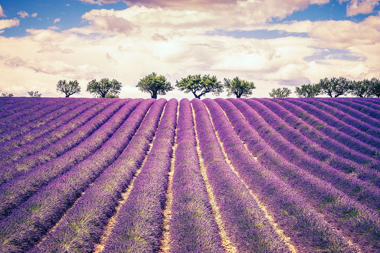 Fototapete Das Lavendelfeld