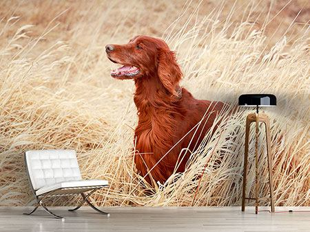 Photo Wallpaper Irish Red Setter