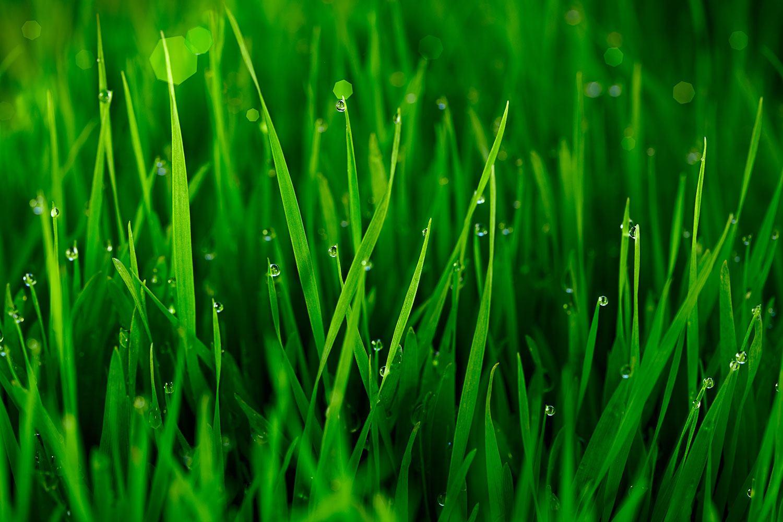 Fototapete Gras mit Morgentau