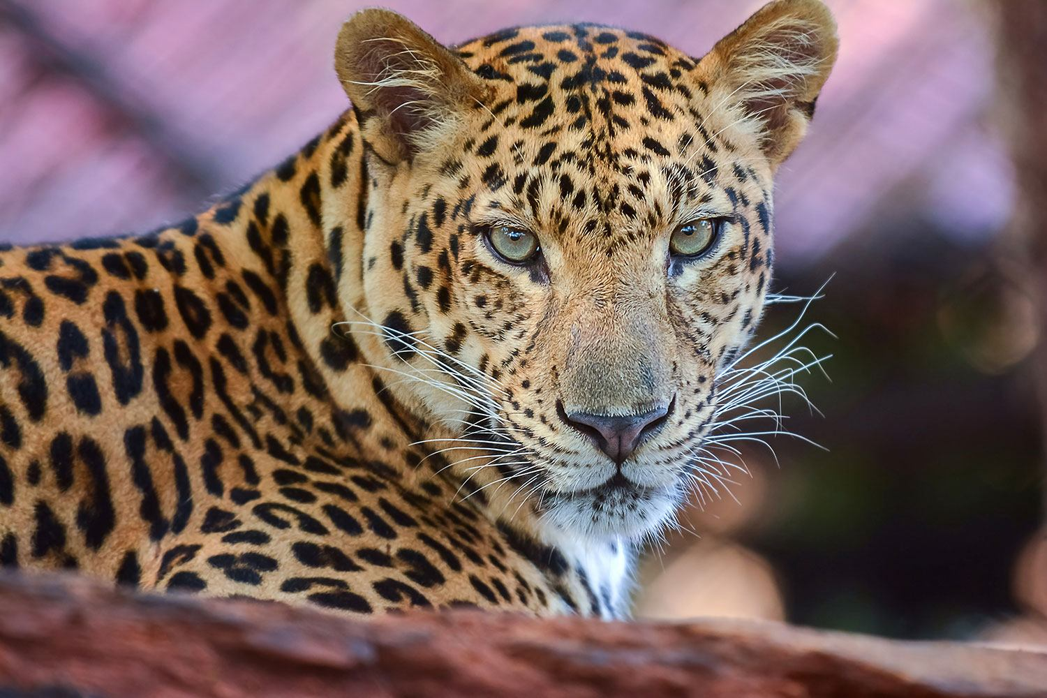 Photo Wallpaper Leopard