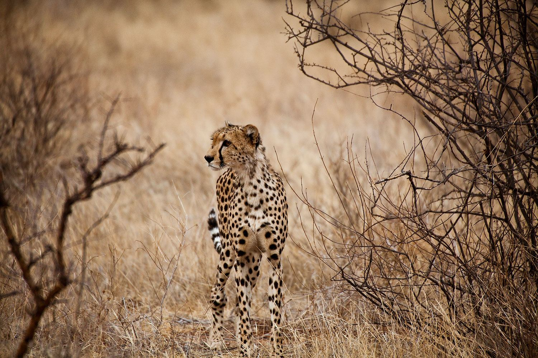 Fototapete Eleganter Gepard