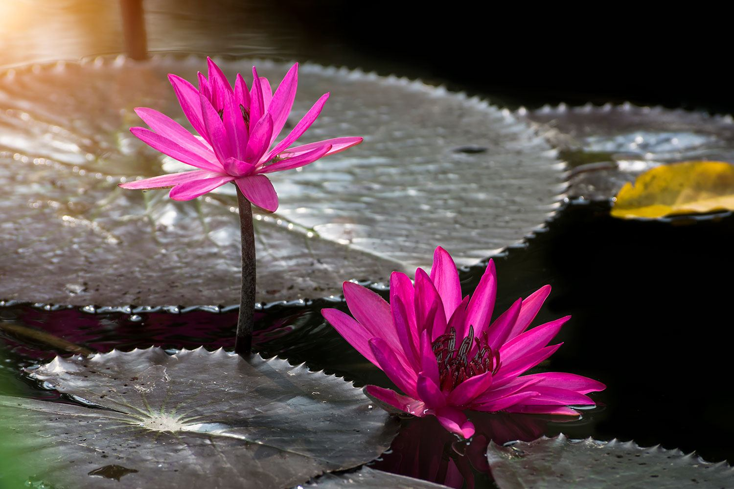Photo Wallpaper Water Lily In The Morning Dew