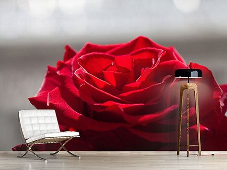 Photo Wallpaper Red Rose Blossom