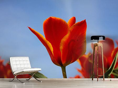Photo Wallpaper Red Tulips In XXL