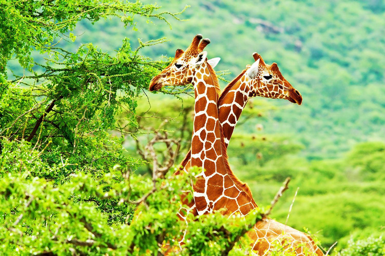 Fototapete Giraffenliebe
