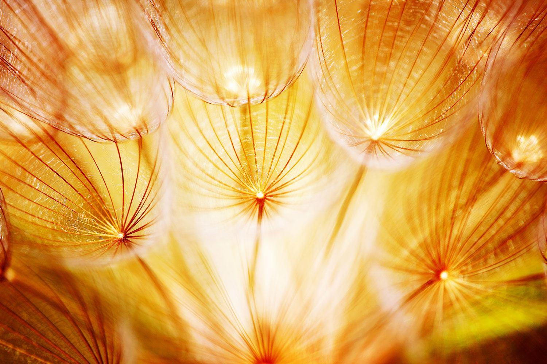 Fototapete Close Up Pusteblume im Licht