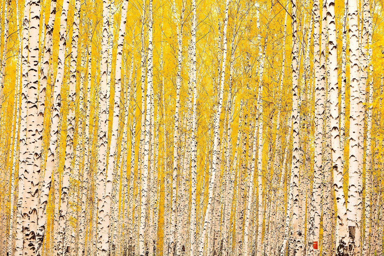 Fototapete Der Birkenwald im Herbst