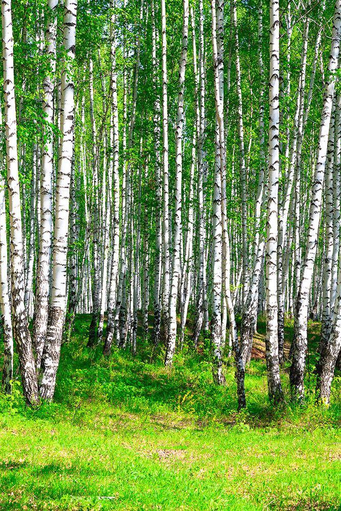Fototapete Der Birkenwald im Sommer