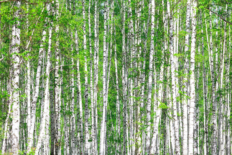 Fototapete Der Birkenwald