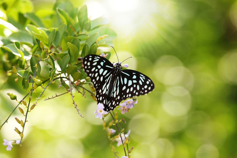 Fototapete Papilio Schmetterling XXL