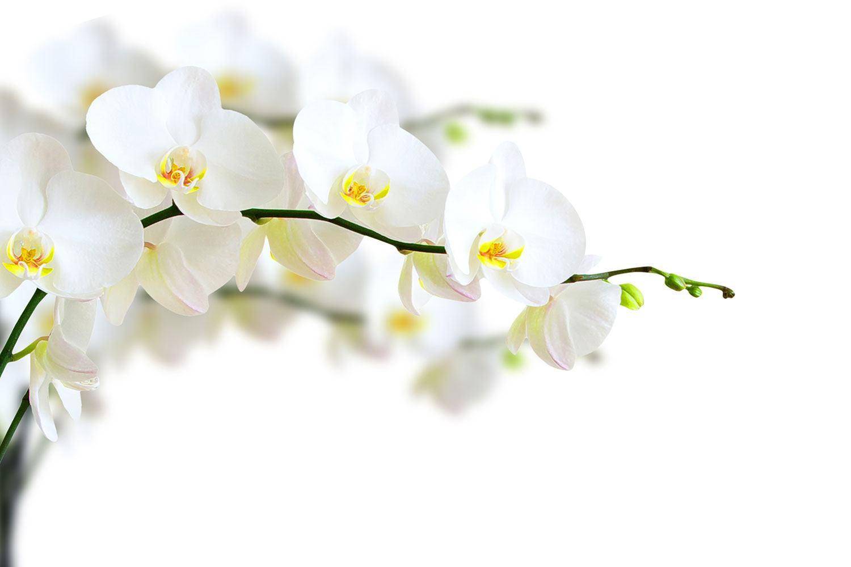 fototapete weisse orchideen jetzt online bestellen. Black Bedroom Furniture Sets. Home Design Ideas
