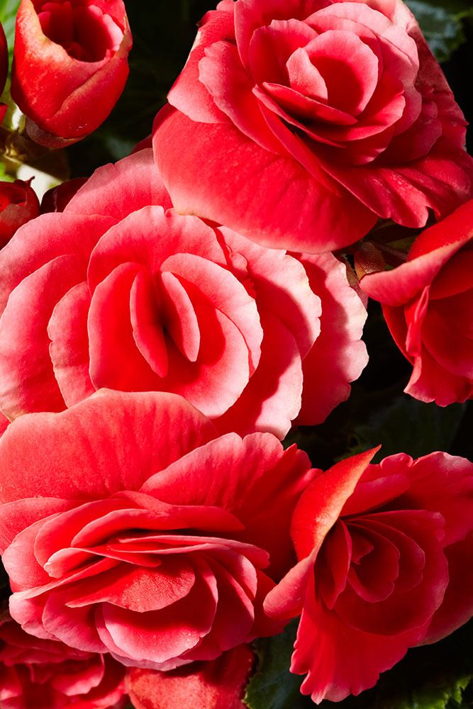 fototapete rote rosen jetzt einfach online bestellen. Black Bedroom Furniture Sets. Home Design Ideas