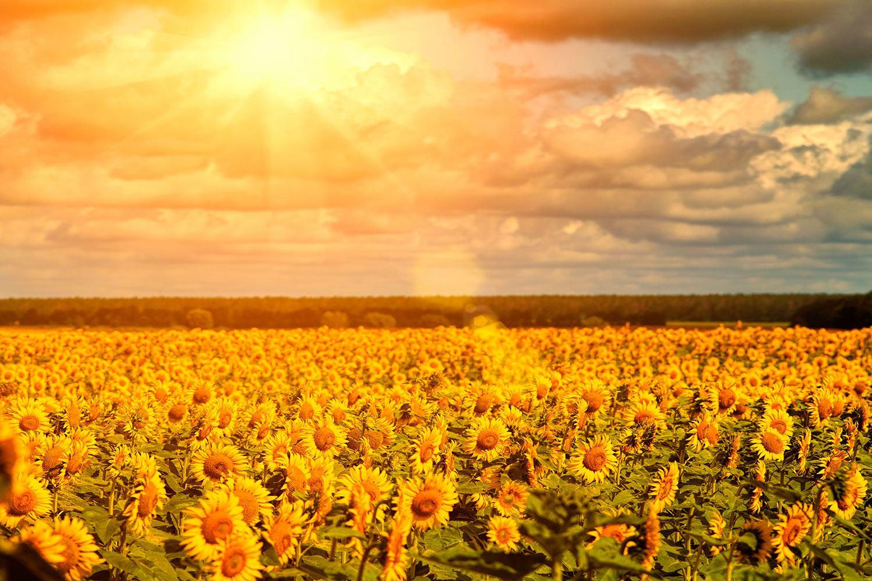 Fototapete Goldenes Licht für Sonnenblumen