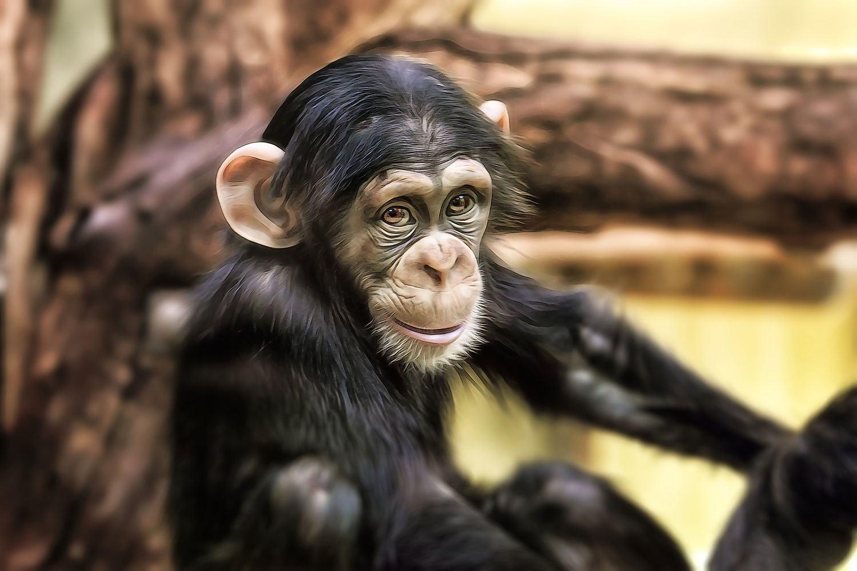 Fototapete Der Schimpanse