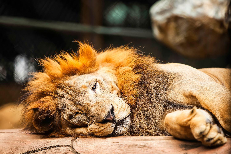 Fototapete Entspannter Löwe