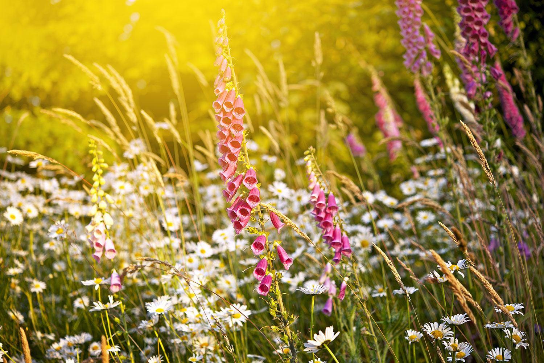 Fototapete Sommerliche Blumenwiese
