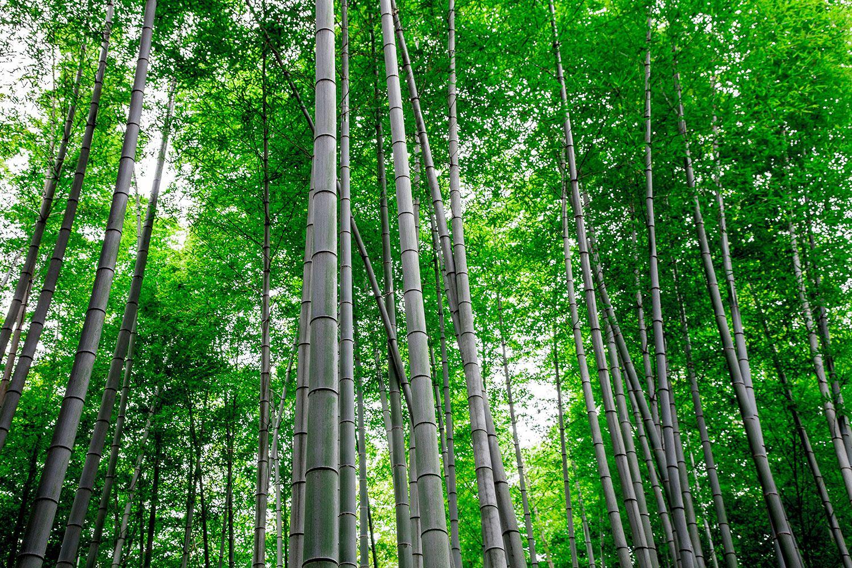 Fototapete Bambuswald