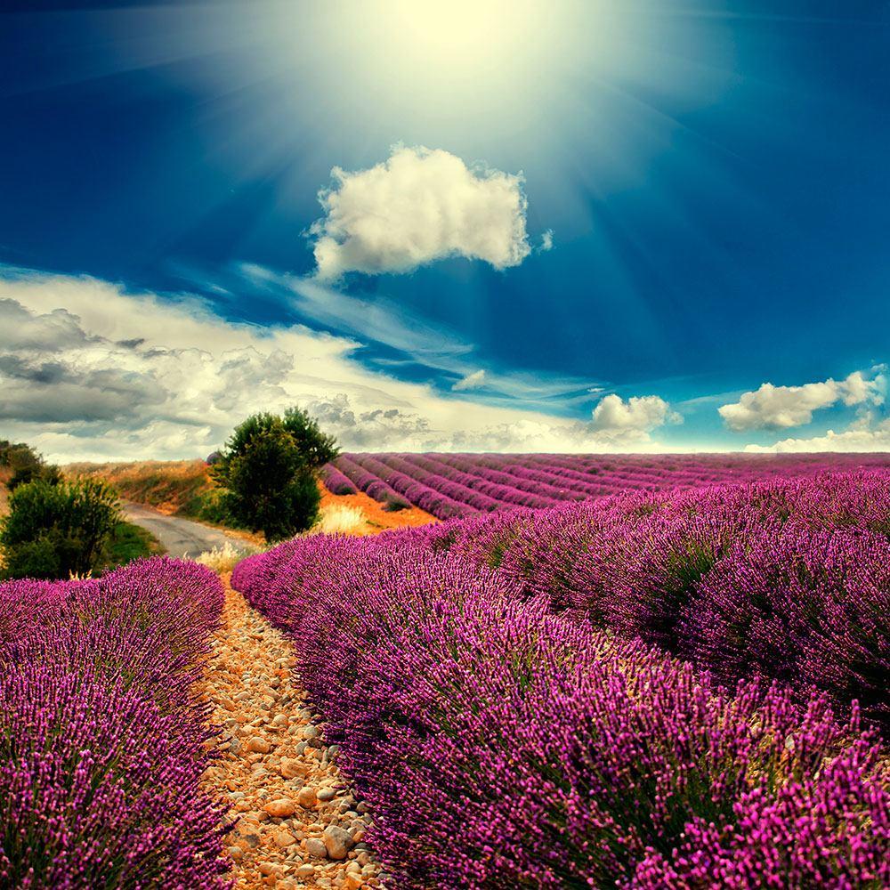 Fototapete Das Lavendeltal