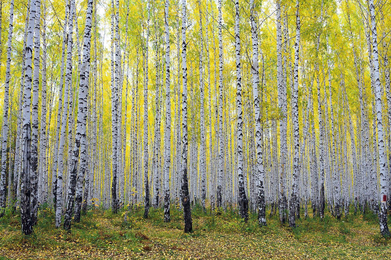 Fototapete Herbstlicher Birkenwald