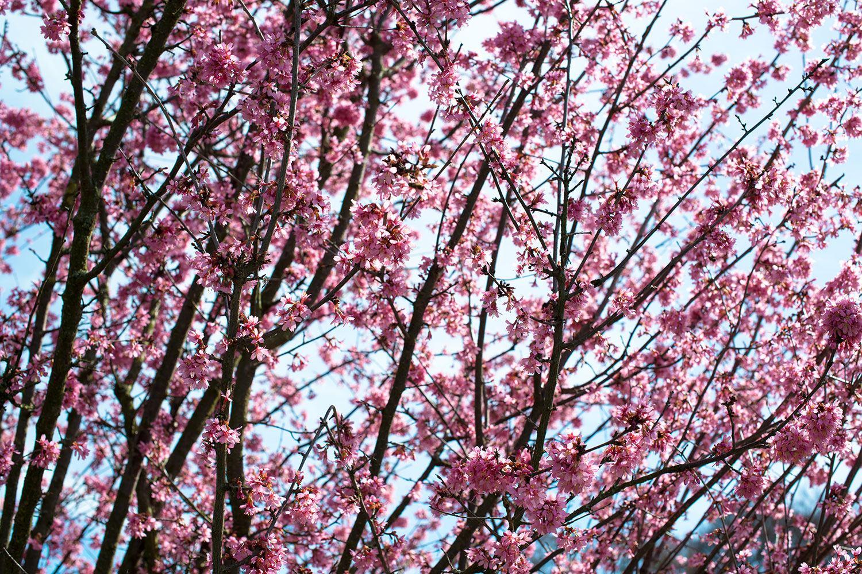 Fototapete Japanische Blütenkirsche